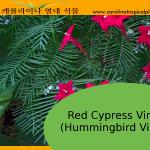 Hummingbird Vine - Red Cypress Vine Seeds - 20 Seed Count