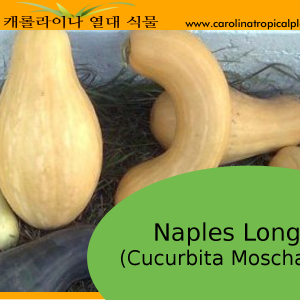 Naples Long - Cucurbita Moschata Seeds - 10 Seed Count