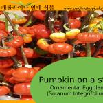 Pumpkin on a stick - Ornamental Eggplant Seeds - 25 Seed Count