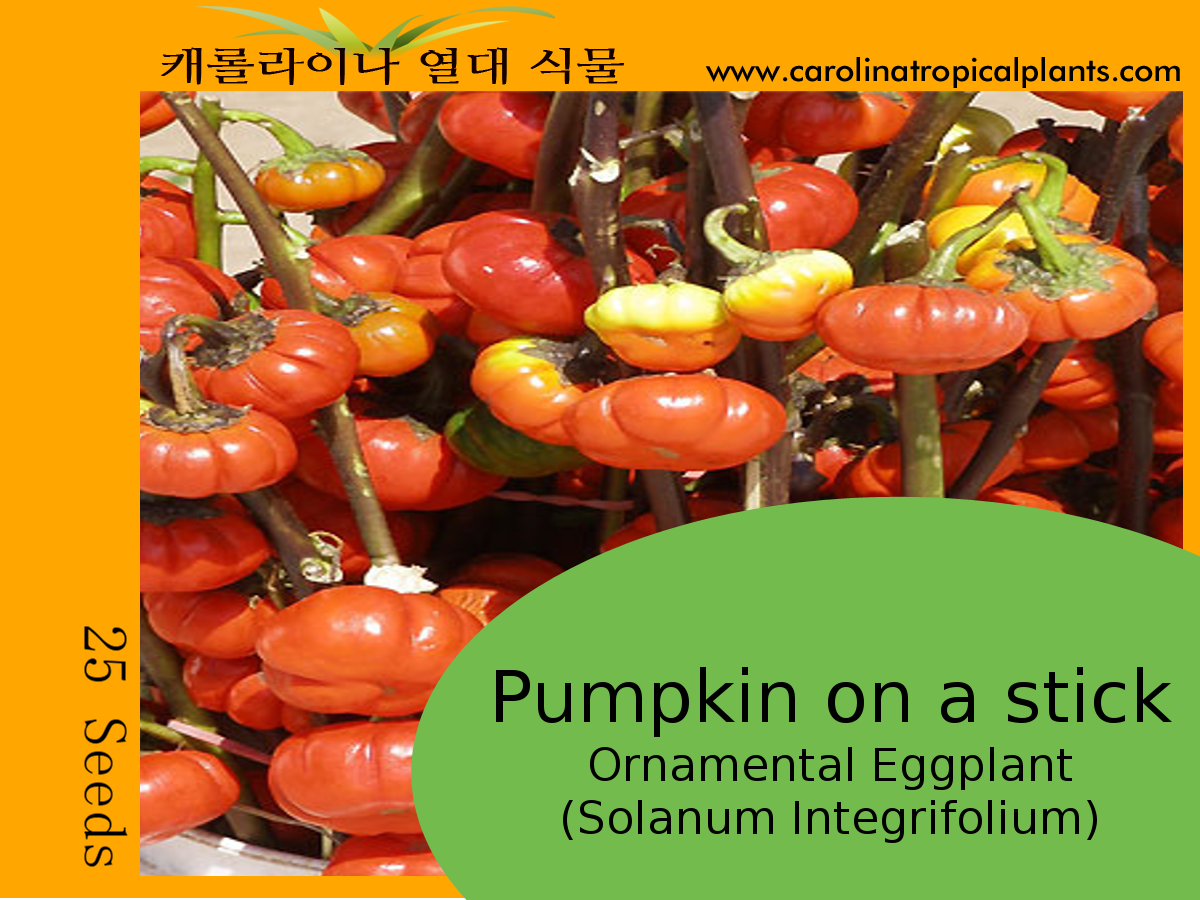Pumpkin on a stick - Ornamental Eggplant Seeds - 25 Seed Count