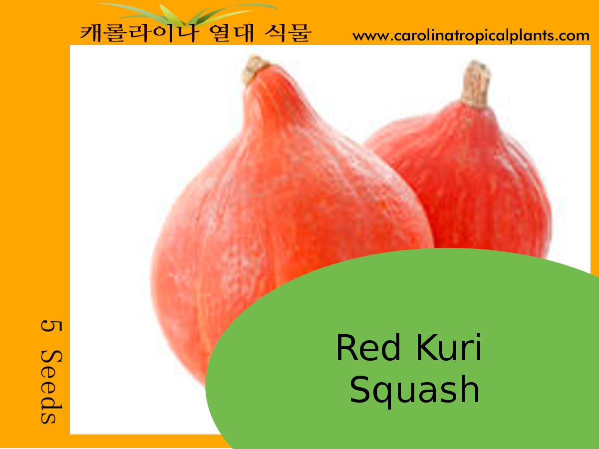 Red Kuri Squash Seeds - 5 Seed Count