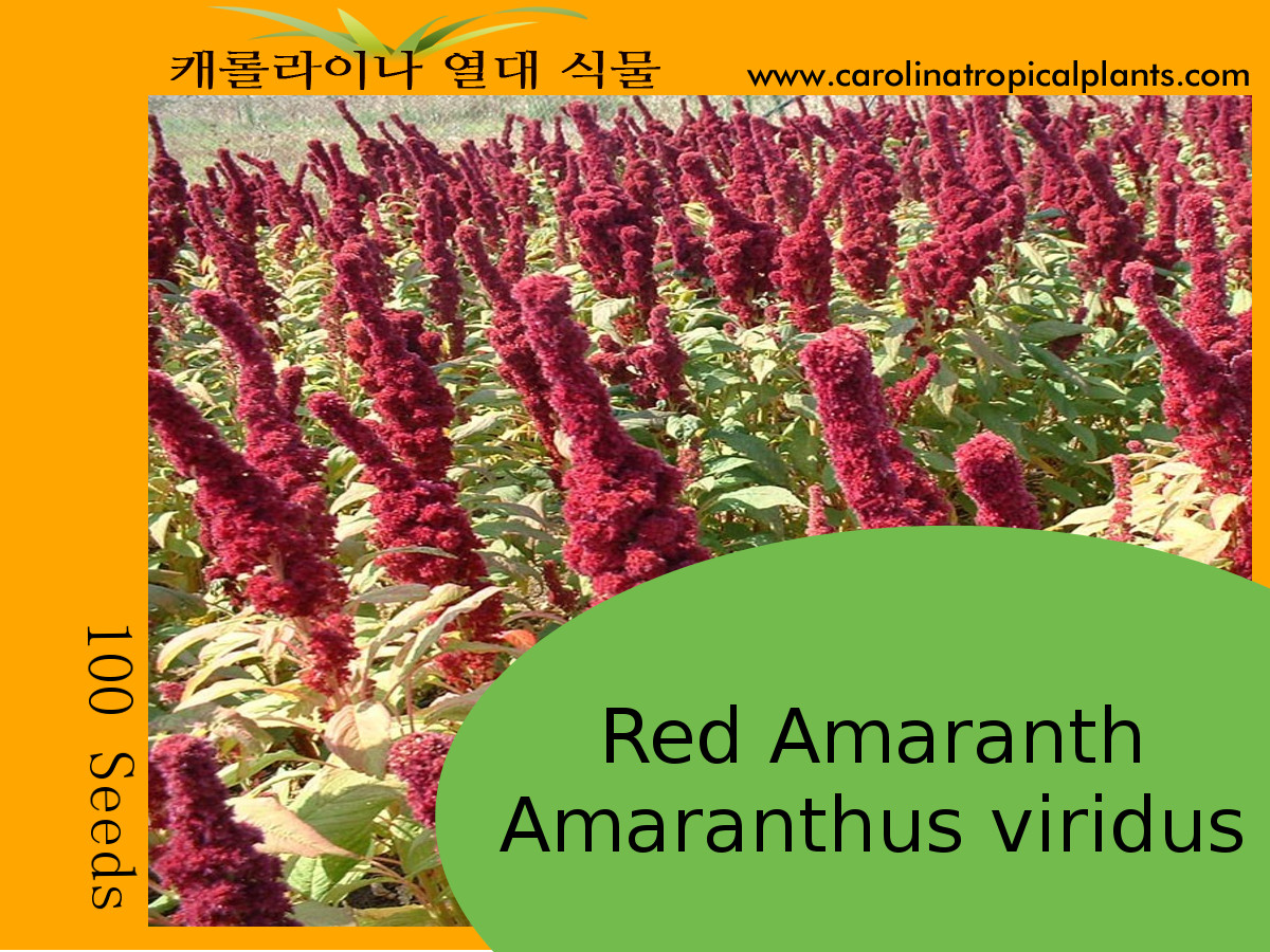 RED Amaranth - Amaranthus Viridus Seeds - 100 Seeds