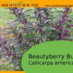 Beautyberry Bush - Callicarpa americana - American Beautyberry - 50 Seeds