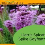Liatris Spicata - Spike Gayfeather Seeds - 25 Seed Count