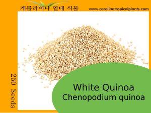 White Quinoa - Chenopodium quinoa Seeds - 250 Seeds