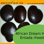 Entada rheedii Seeds - African dream herb - 2 Seeds