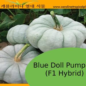 Blue Doll Pumpkin Seeds - 5 Seed Count