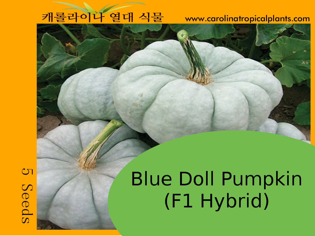 Blue Doll Pumpkin Seeds - 5 Seed Count