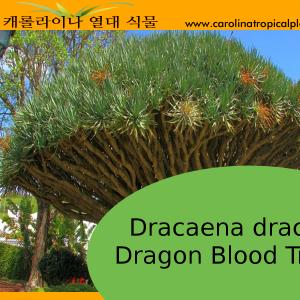 Dracaena draco - Dragon Bloob Tree Seeds - 5 Seed Count