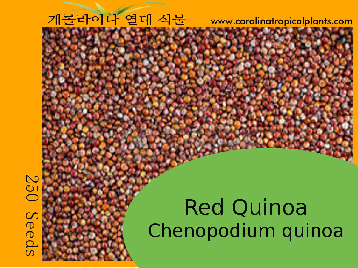 Red Quinoa Seeds for sale - 250 Seed Count