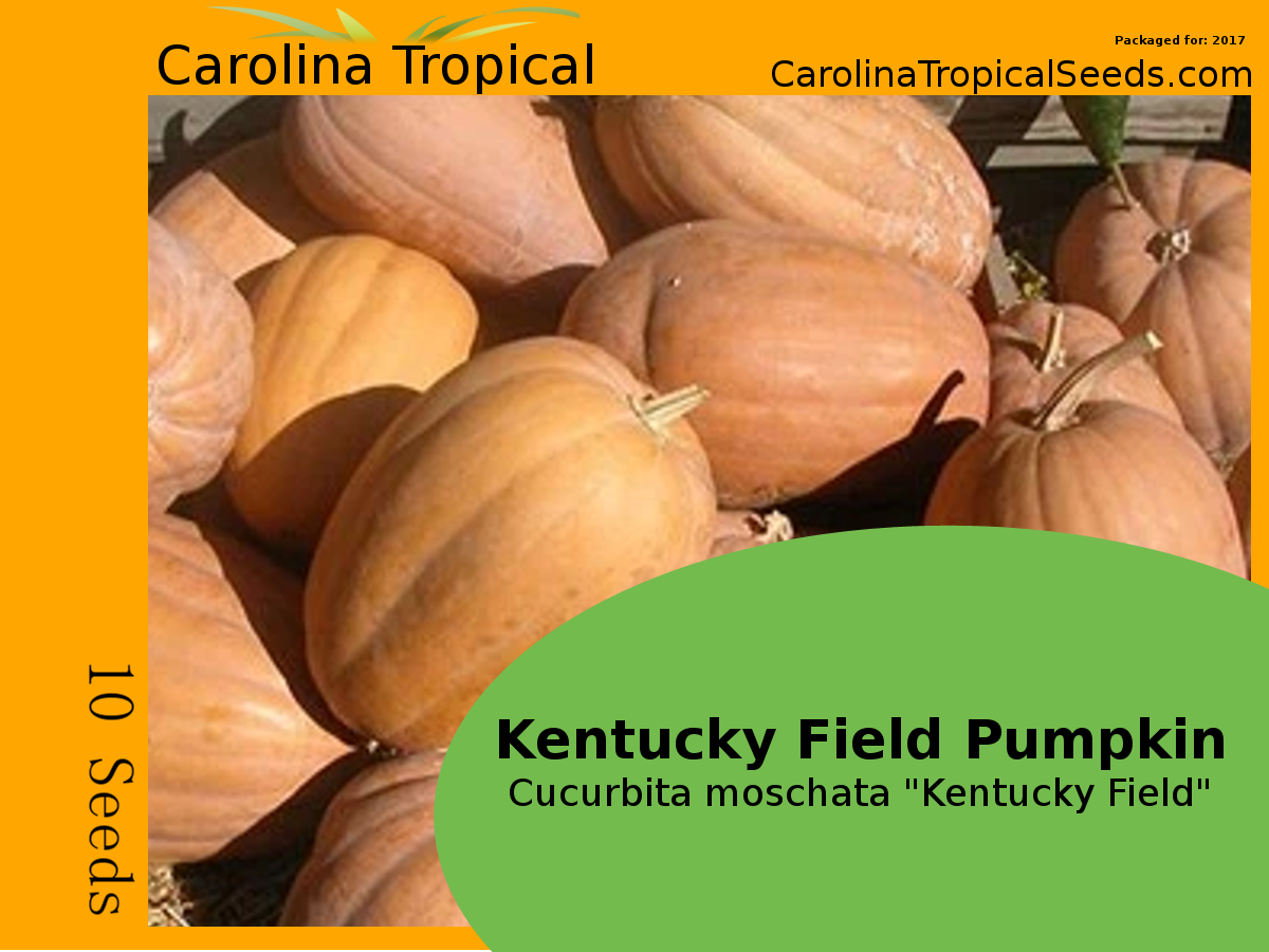 "Kentucky Field Pumpkin - Cucurbita moschata ""Kentucky Field"" - 10 Seed Count"