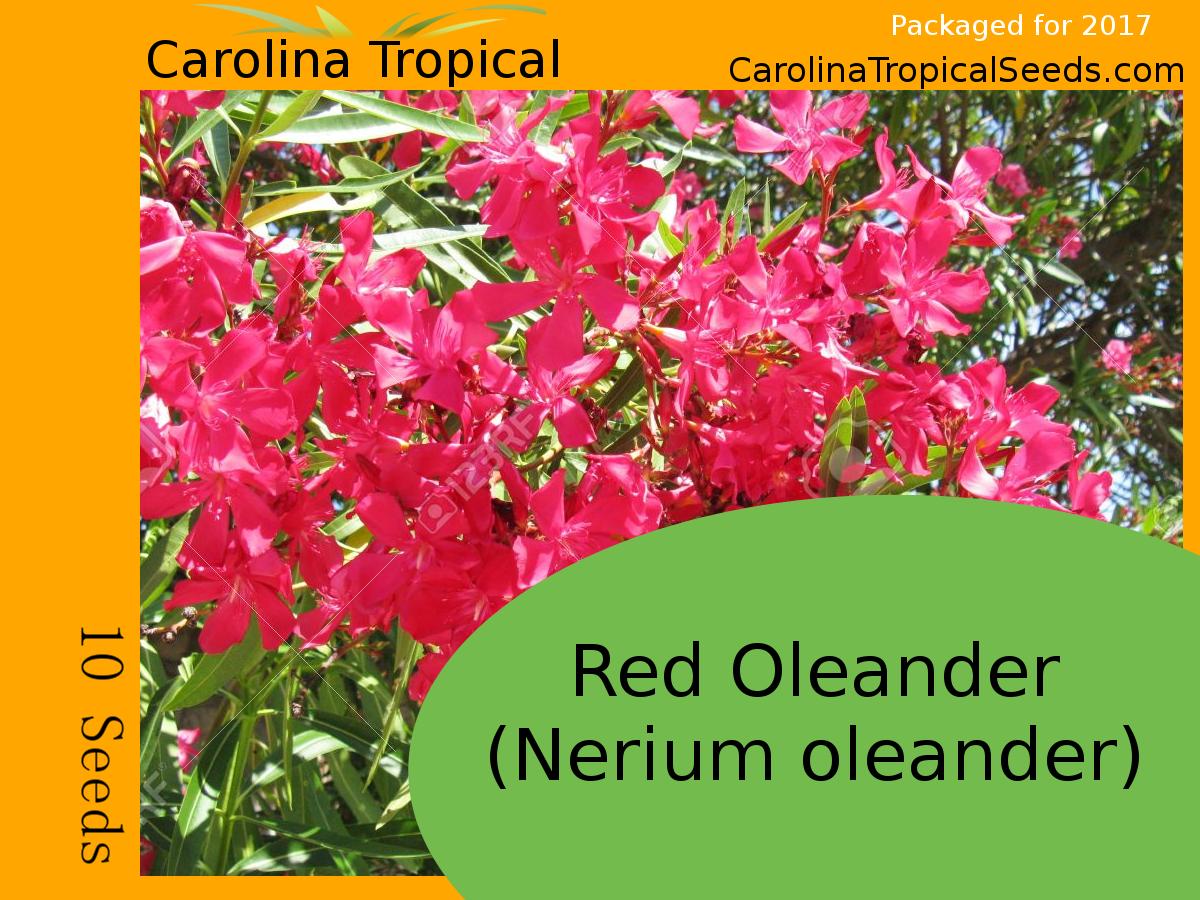 Red Oleander (Nerium oleander) - 10 Seed Count