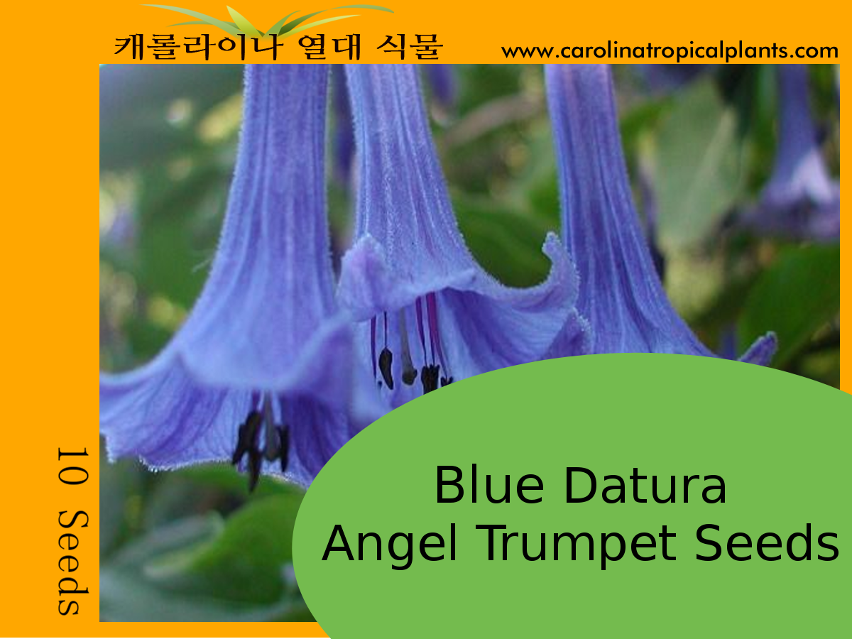 Blue Datura Angel Trumpets Seeds - 10 Seeds