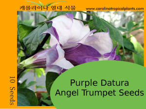 Purple Datura Angel Trumpets Seeds - 10 Seeds