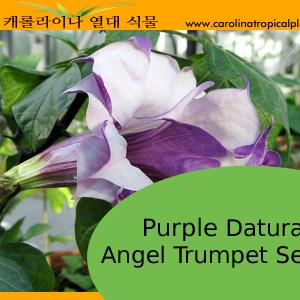 Purple Datura Angel Trumpets Seeds - 10 Seeds