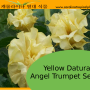 Germination Information for Datura Angel Trumpets Seed (Yellow, Red, Blue, Pink, Purple)