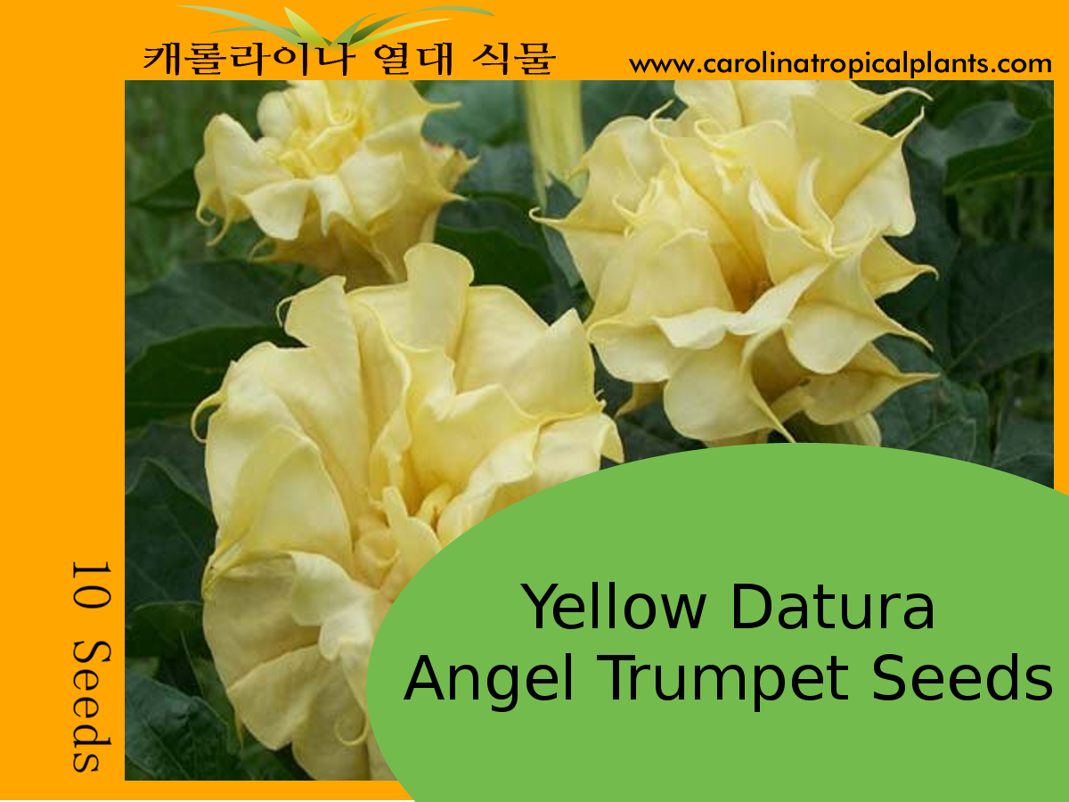 Yellow Datura Angel Trumpets Seeds - 10 Seeds