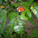 Abarema jupunba (Ingarana, Family: Fabaceae)