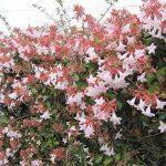 Abelia grandiflora (Glossy Abelia, Family: Caprifoliaceae)