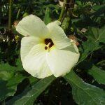 Abelmoschus moschatus, Hibiscus abelmoschus (Musk Mallow, Family: Malvaceae)