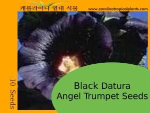 Black Angel Trumpet