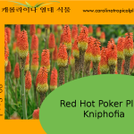 Red Hot Poker Plant