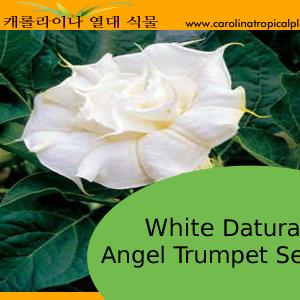 White Angel Trumpet