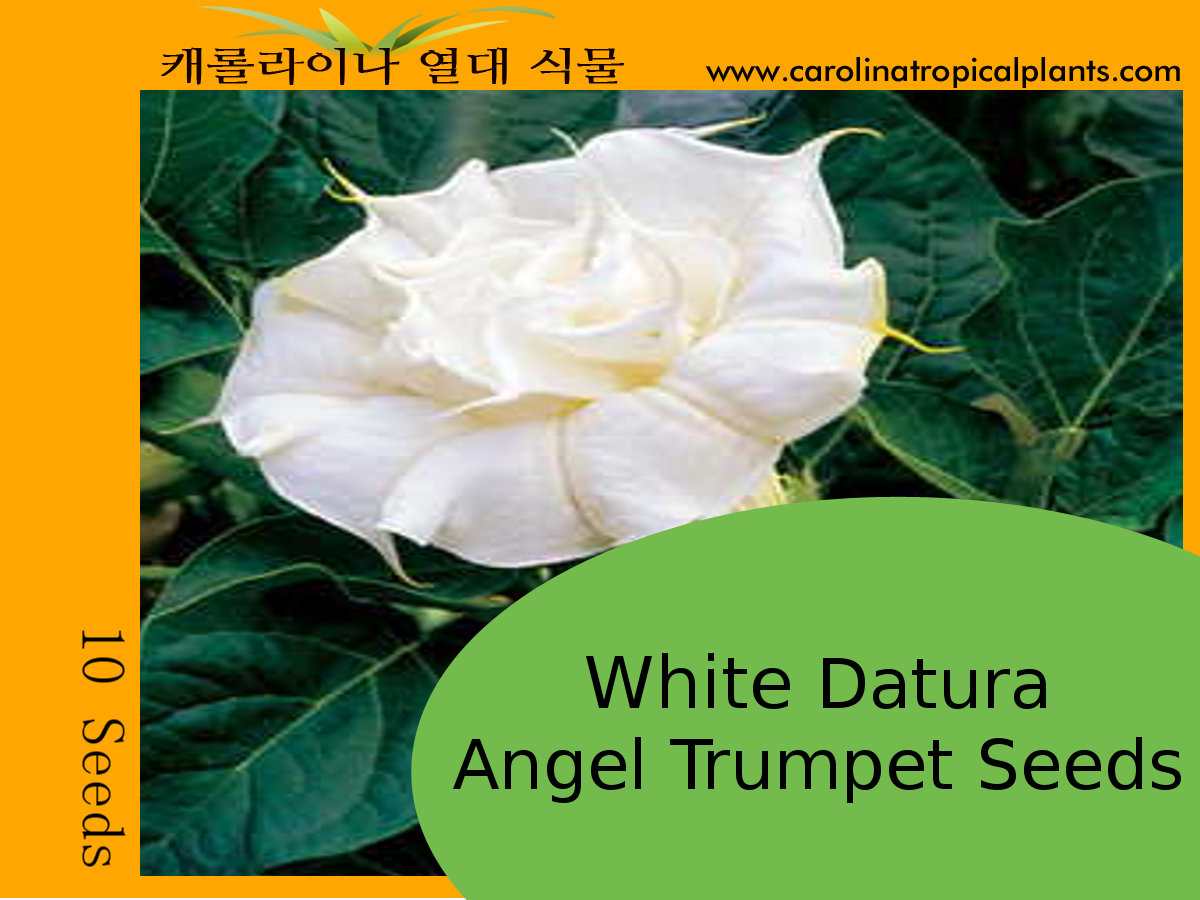 White Angel Trumpet