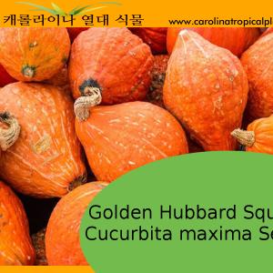 Golden Hubbard - Cucurbita maxima – 10 Seeds