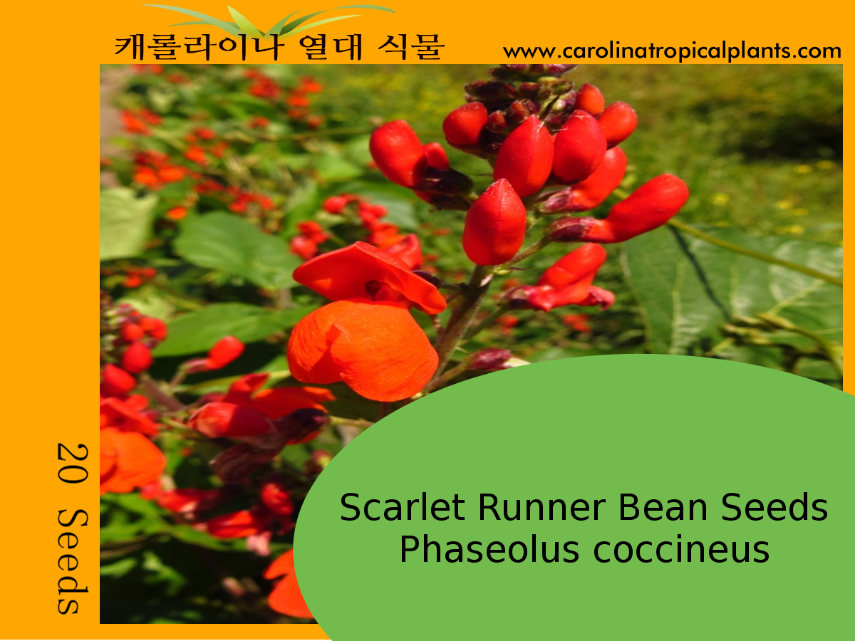 Scarlet Runner Bean Seeds - Phaseolus coccineus – 20 Seeds