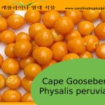 Cape Gooseberry Seeds - 20 Seeds