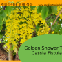 Cassia Tree Propagation: How To Propagate A Golden Shower Tree