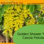 Cassia Tree Propagation: How To Propagate A Golden Shower Tree