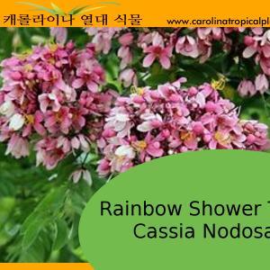 Cassia Nodosa Seeds