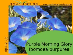 Purple Morning Glory - Ipomoea purpurea – 20 Seeds
