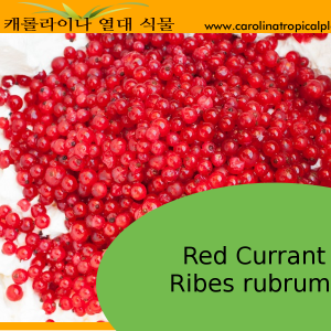 Red Currant - Ribes rubrum Seeds – 20 Seeds