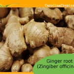 NEW Fresh Organic - Non GMO Ginger Root - 1 Pound