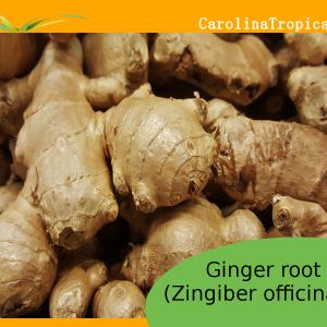 NEW Fresh Organic - Non GMO Ginger Root - 1 Pound