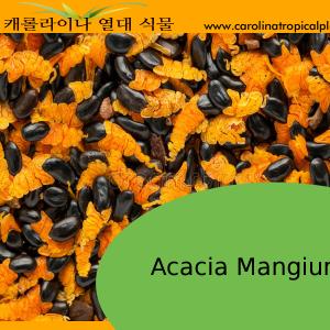 Acacia mangium seeds - 10 Seeds