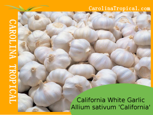 California White Garlic (Allium sativum 'California') – 1 bulb