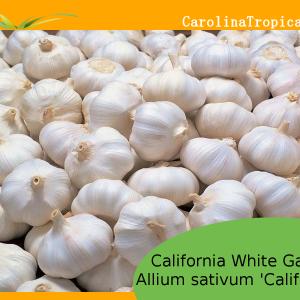 California White Garlic (Allium sativum 'California')– 1 bulb
