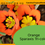Orange Sparaxis Tri-Color Seeds – 20 Seeds