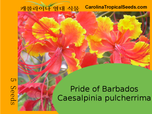 Pride of Barbados - 5 Seeds