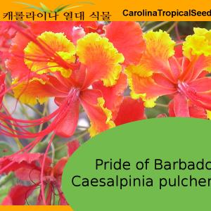 Pride of Barbados - 5 Seeds