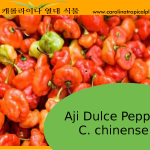 Aji Dulce Pepper (C. Chinense) Seeds – 10 Seeds