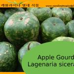 Apple Gourd Seeds - 10 Seeds